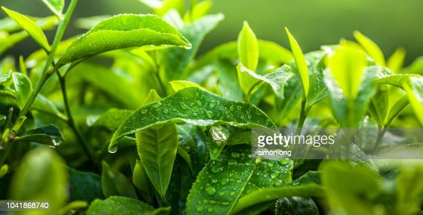 freshness tea leaves - crop plant - fotografias e filmes do acervo