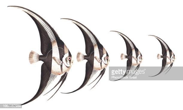 freshwater angelfish - fish scale pattern ストックフォトと画像