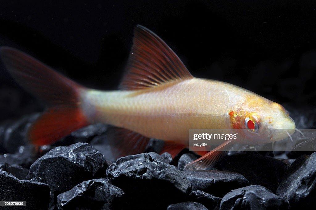 Süßwasser-Aquarium mit Fischen : Stock-Foto