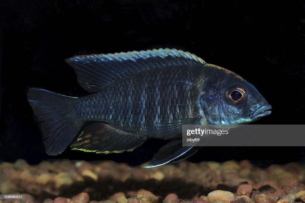 Aquarium de poissons d'eau douce : Photo