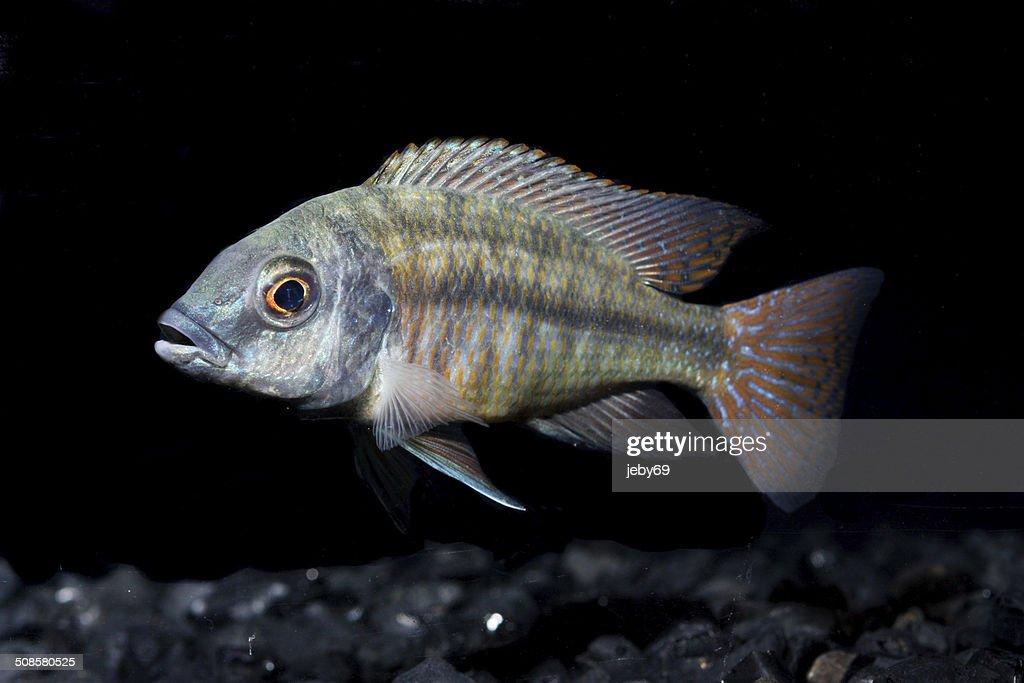 Freshwater Aquarium Fish : Stockfoto