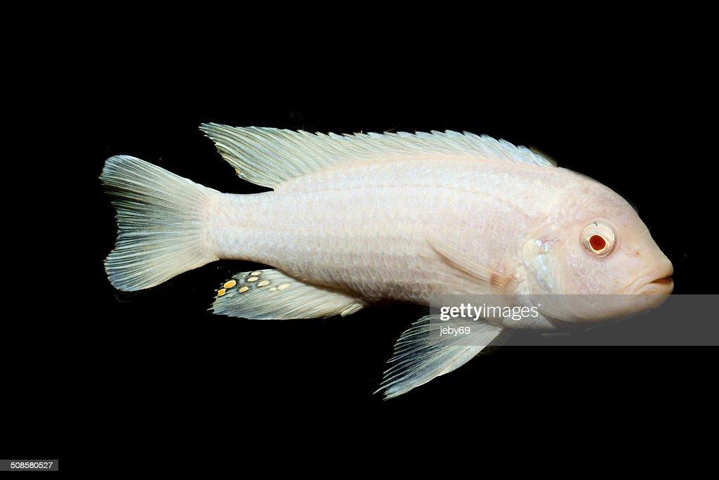 Freshwater Aquarium Fish : Stock Photo