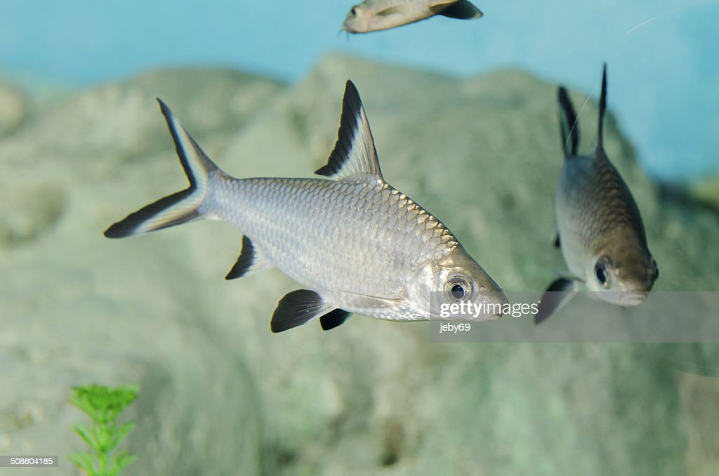 Aquário peixes de água doce : Foto de stock