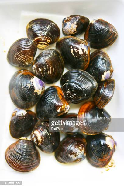 freshwater clams (japanese corbicula) - corbicula clam stock pictures, royalty-free photos & images