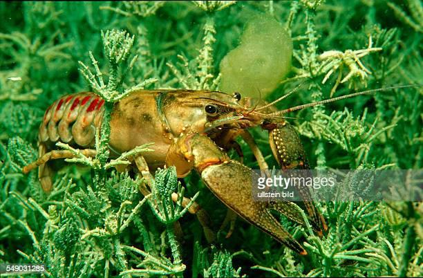 Freshwater crayfish Astacus leptodactylus Austria Kärnten