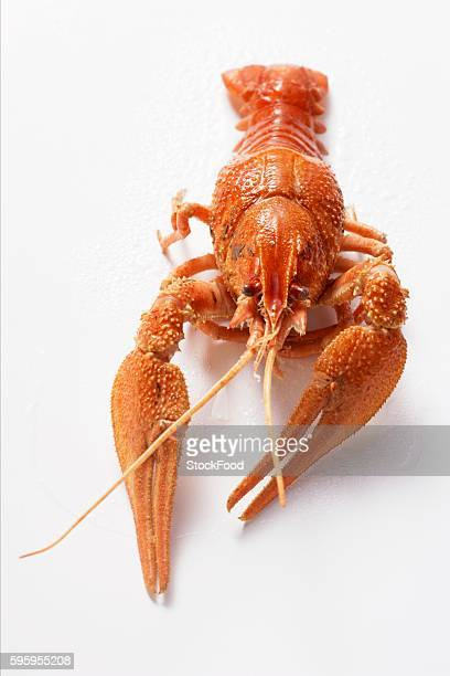 Freshwater crayfish from the front