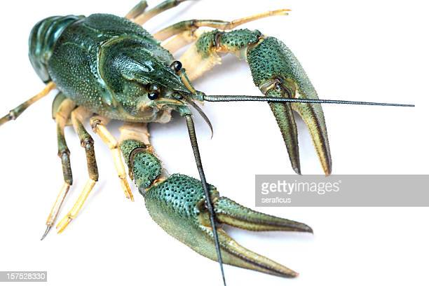 Freshwater crayfish (Austropotamobius Pallipes)
