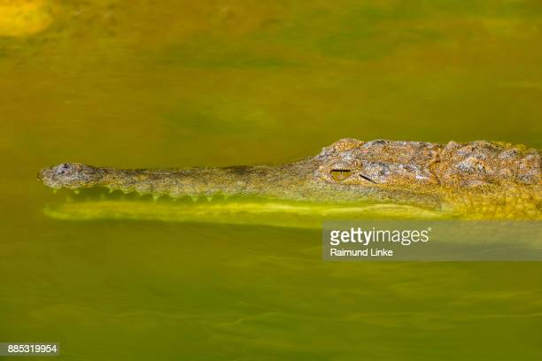 Freshwater Crocodile, Crocodylus johnsoni, Rockhampton, Queensland, Australia
