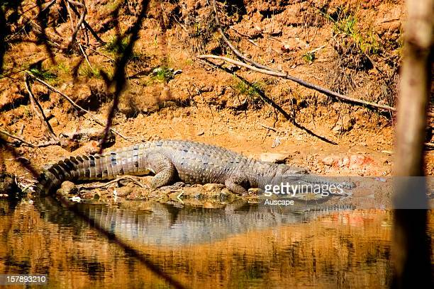 Freshwater crocodile is much smaller than the Saltwater or Estuarine crocodile that will attack people Will bite if disturbed or feel threatened but...