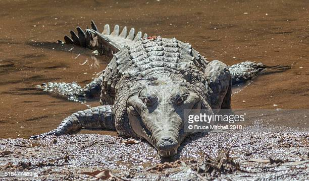 freshwater crocodile with dragonflies - freshwater stock pictures, royalty-free photos & images