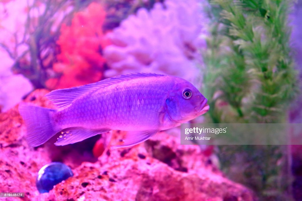 Freshwater Fish In Aquarium : Stock Photo
