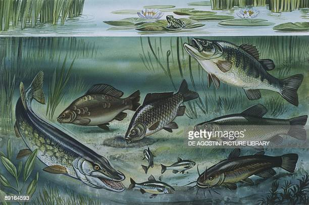 Freshwater fishes in pond illustration
