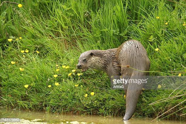 freshwater otter - otter stock photos and pictures
