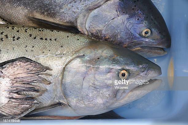 Freshwater Salmon