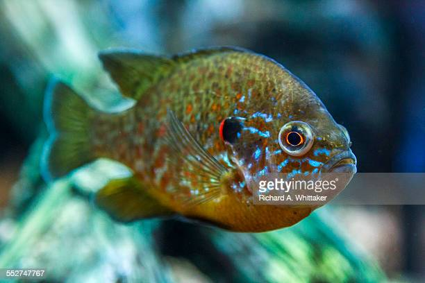 freshwater sunfish underwater - freshwater sunfish stock photos and pictures