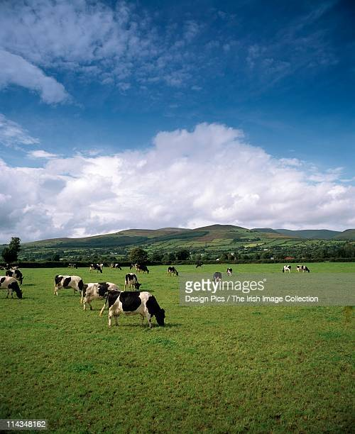 fresian cattle, mitchelstown, county cork, ireland - grazing stock pictures, royalty-free photos & images