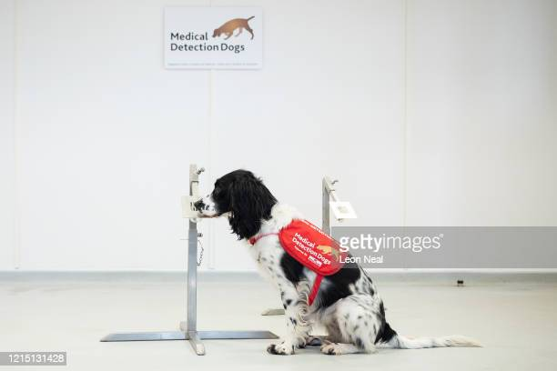 "Freya"" correctly detects a sample of malaria from a row of sample pots at the ""Medical Detection Dogs"" charity headquarters on March 27, 2020 in..."