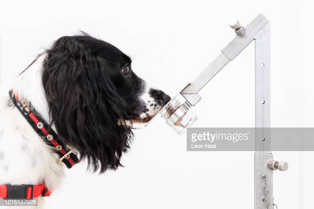Freya correctly detects a sample of malaria from a row of sample pots at the Medical Detection Dogs charity headquarters on March 27 2020 in Milton...
