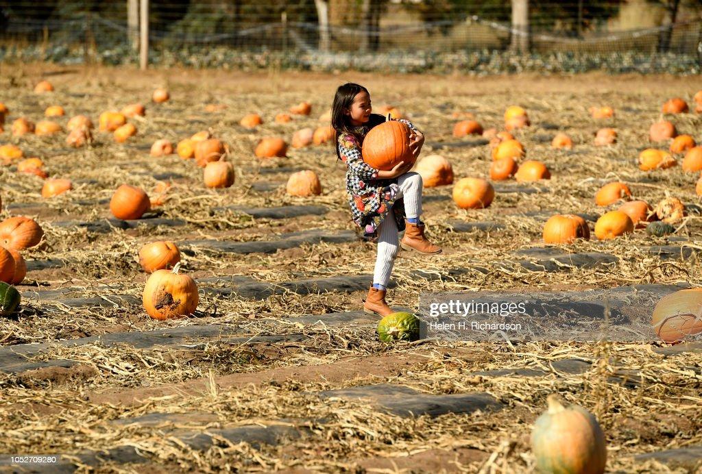 Freya stephens 6 tries to pick up a heavy pumpkin in the - Botanic gardens pumpkin festival ...
