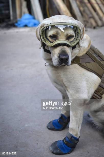 Frida a rescue dog belonging to the Mexican Navy with her handler Israel Arauz Salinas takes a break while participating in the effort to look for...
