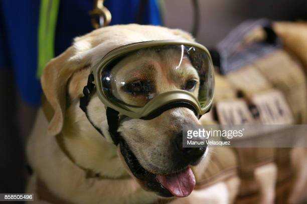 Frida the rescue dog is seen before the match between Mexico and Trinidad Tobago as part of the FIFA 2018 World Cup Qualifiers at Alfonso Lastras...