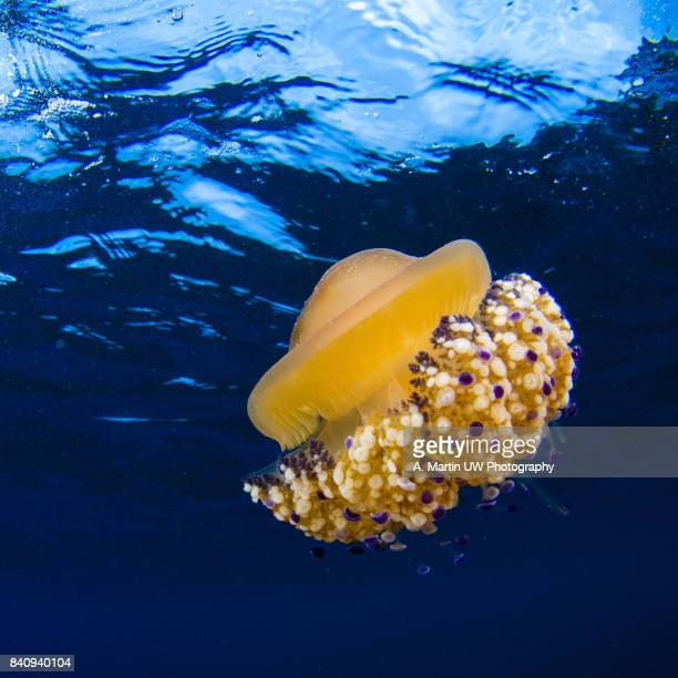 fried egg jellyfish (cotylorhiza tuberculata) - cnidarian stock photos and pictures