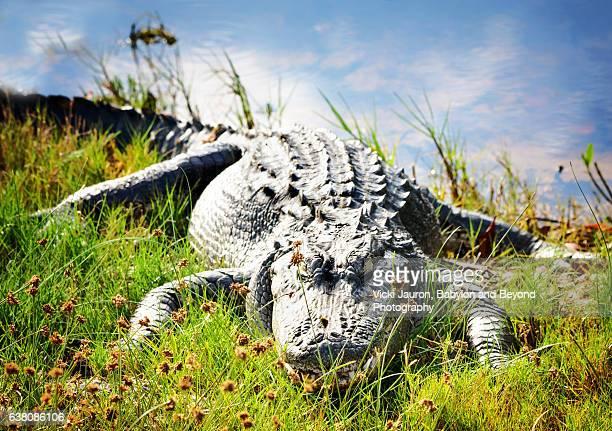 Friendly Alligator in the Grass at Ding Darling Wildlife Preserve, Sanibel Island