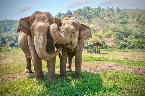 Friendly and affectionate animal behavior as two adult female Asian elephants (elephas maximus) touch each other with their trunks and faces. Rural northern Thailand. 1029099196