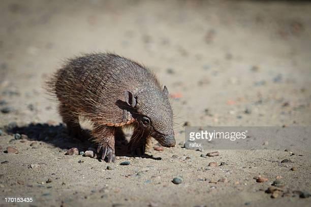 friendly armadillo at Peninsula Valdes