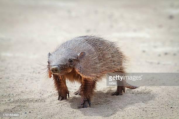 friendly armadillo on peninsula valdes