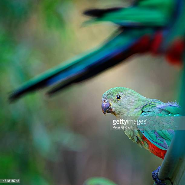 Friendly Australian Bird
