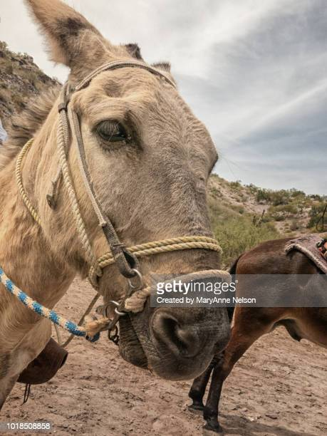friendly baja burro - mexican riding donkey stock photos and pictures
