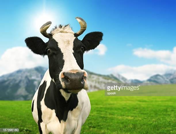 Friendly cow on mountin meadow