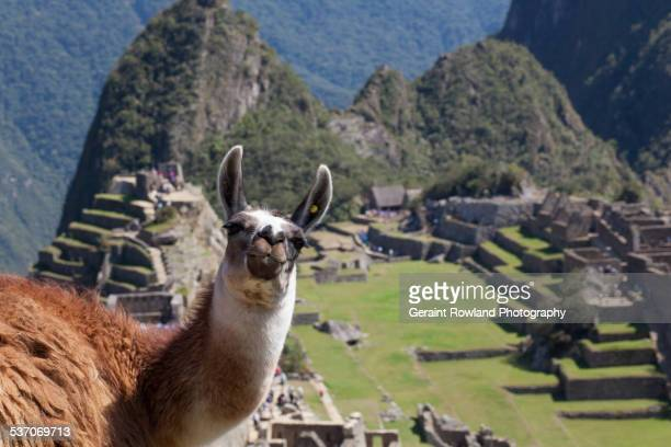 a friendly face on top of machu picchu - lama stock pictures, royalty-free photos & images