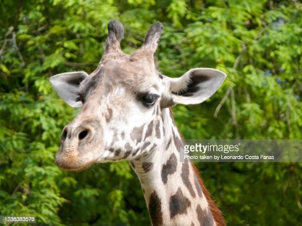 friendly giraffe - leonardo costa farias stock pictures, royalty-free photos & images