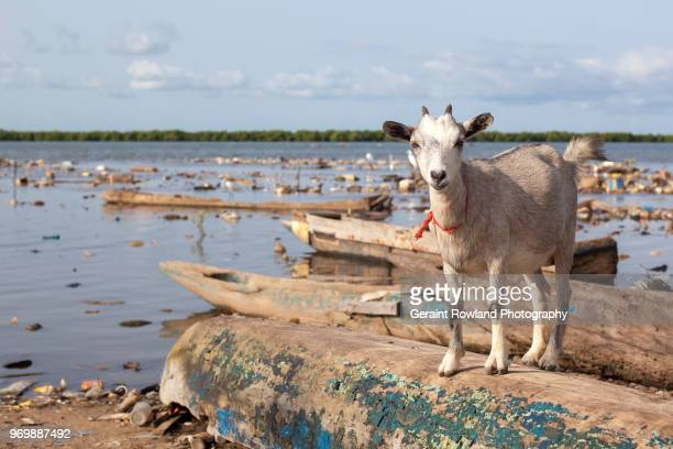Friendly Goat on the Riverbank in South Senegal