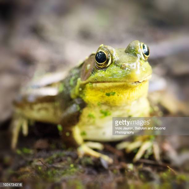 friendly little bullfrog close up looking at camera on long island, ny. - bullfrog stock pictures, royalty-free photos & images