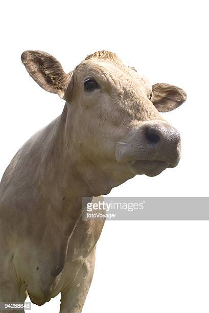 Friendly looking cow