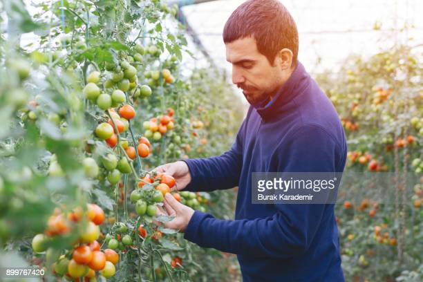 friendly man harvesting fresh tomatoes from the greenhouse garden putting - tomato harvest stock pictures, royalty-free photos & images