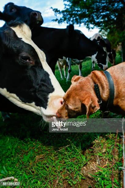 Friendly Pit Bull Dog Kissing Cow
