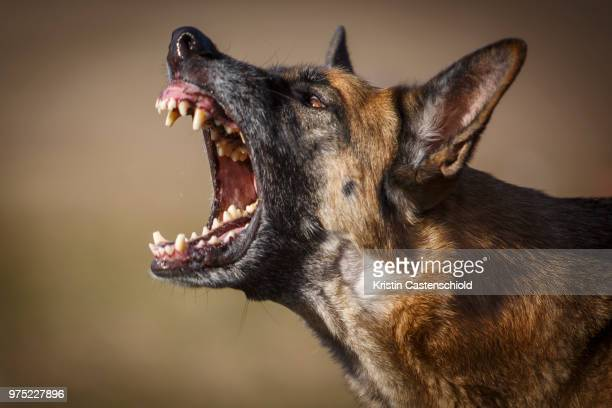 friendly play - belgian malinois stock photos and pictures