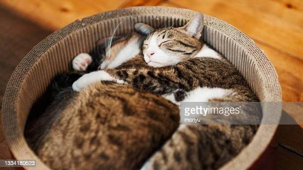 friendly tabby cat brothers - ネコ科 ストックフォトと画像