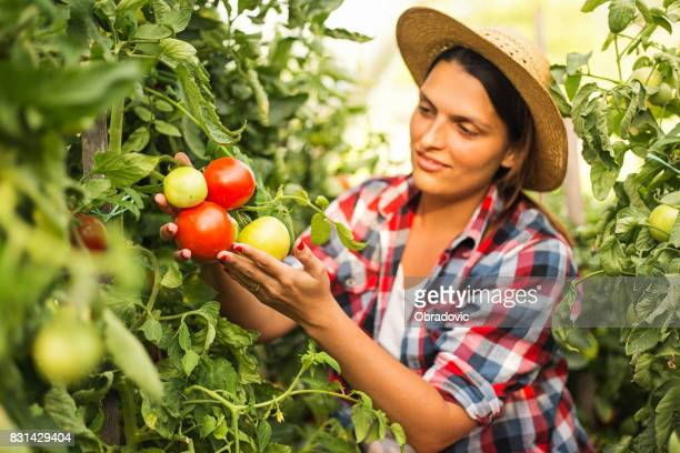 friendly woman harvesting fresh vegetables from the greenhouse garden - mid adult stock pictures, royalty-free photos & images