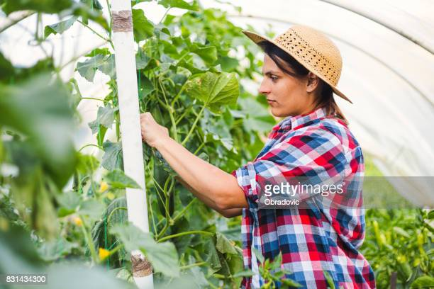 Friendly woman harvesting fresh vegetables from the greenhouse garden