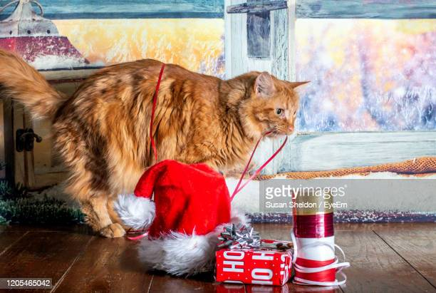 a friendly yellow cat helps with wrapping christmas gifts, by chewing on the festive red ribbon - cat with red hat stock pictures, royalty-free photos & images