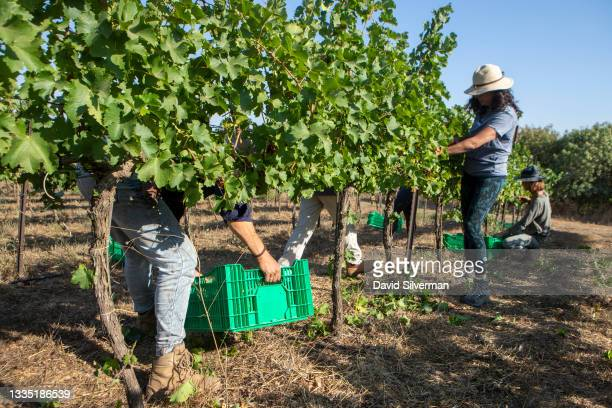Friends and volunteers harvest Sauvignon Blanc wine grapes for Lital Ovadia's boutique Tel Winery on August 7, 2021 in the Tel Shifon organic...