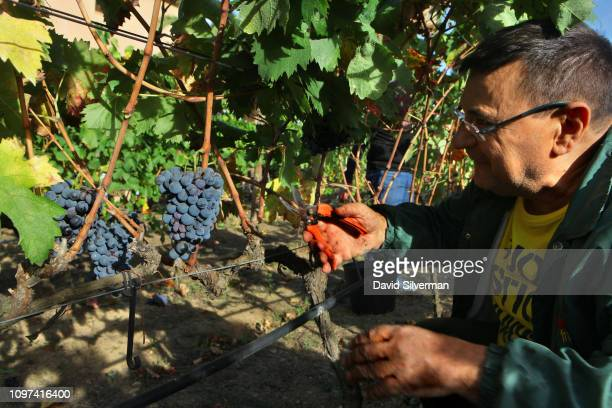 Friends and workers harvest Cariñena grapes at the Clos Mesorah Montsant DO estate winery on October 2 2018 near the town of Marca in Spain's...