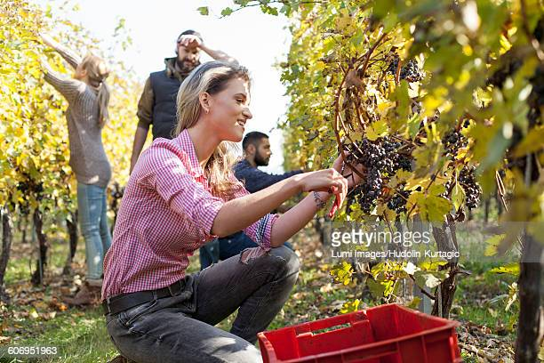 Friends harvesting grapes together in vineyard