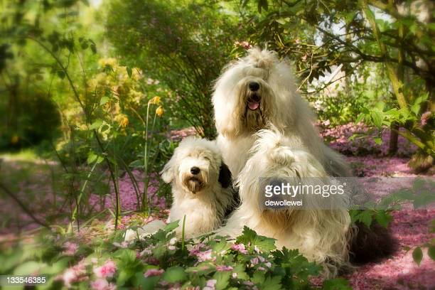 friends - old english sheepdog stock pictures, royalty-free photos & images