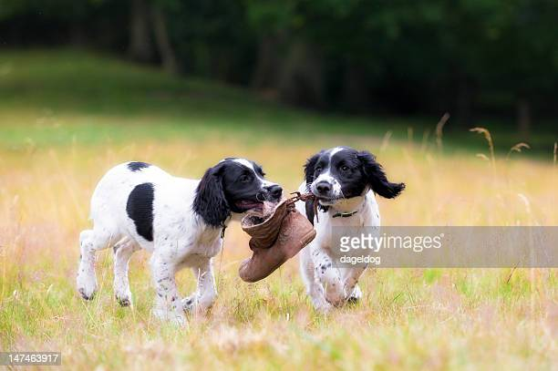friendship and fun - springer spaniel stock photos and pictures